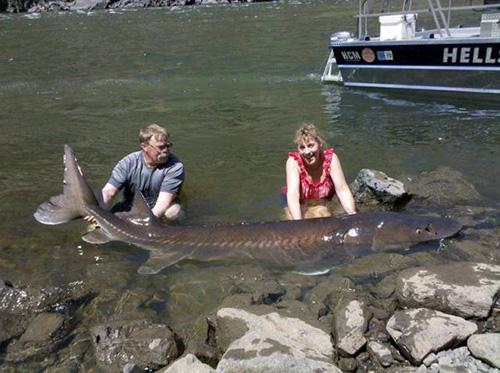 믿기지 않는 크기의 민물고기