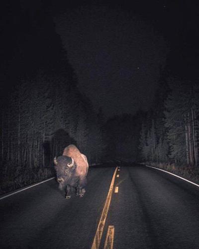 도로 위에 나타난 버팔로 '공포'