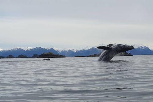 수면 위로 출몰한 흰수염 고래