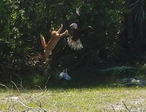 독수리 사냥에 도전한 고양이