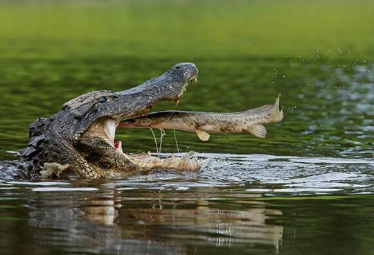 악어 입 속으로 뛰어든 물고기