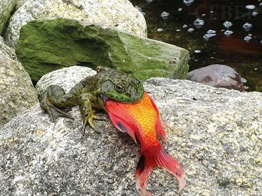 몸집만한 물고기를 삼키는 개구리