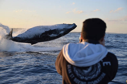 물 위로 뛰어오른 혹등고래