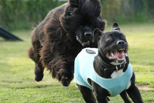 성난 대형견에 쫓기는 강아지