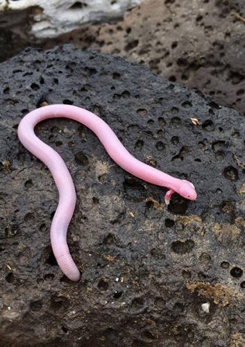 도마뱀+지렁이, 멕시코 초희귀종