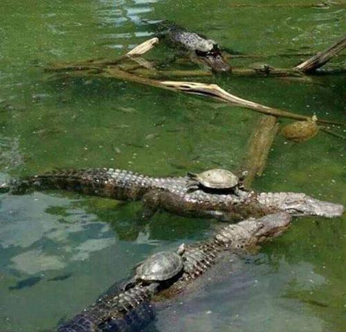 악어에 올라탄 용감한 거북이