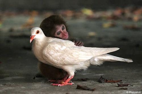 원숭이와 비둘기의 우정