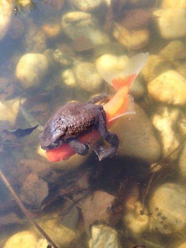 물고기에 올라탄 두꺼비