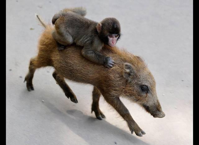 멧돼지에 올라탄 원숭이