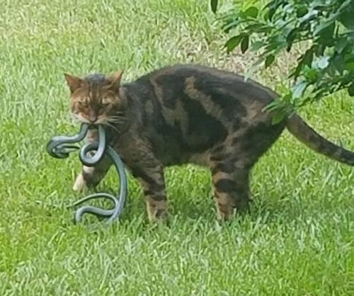 뱀 사냥에 성공한 고양이