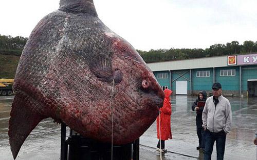어부에게 잡힌 1.2톤의 개복치