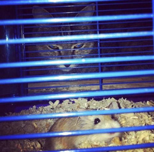 햄스터를 노리는 고양이