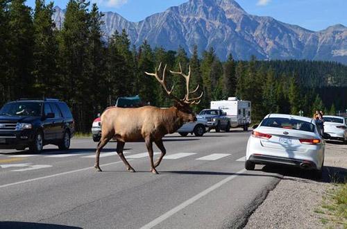 도로를 활보하는 사슴
