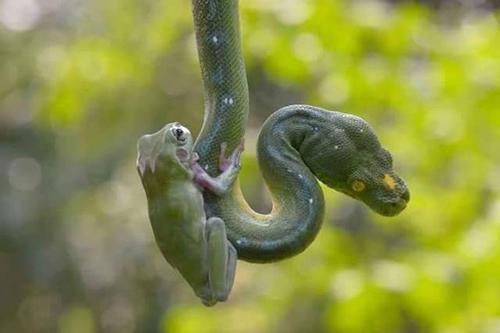 뱀에 매달린 개구리