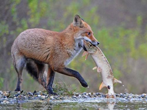 물고기 사냥에 성공한 여우