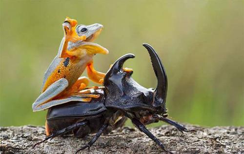장수풍뎅이에 올라탄 개구리