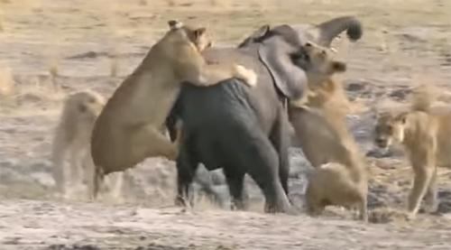 사자 떼에 공격 당한 코끼리