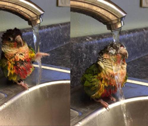 세면대에서 샤워하는 앵무새