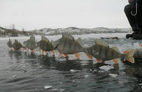 강추위에 얼어붙은 물고기 떼