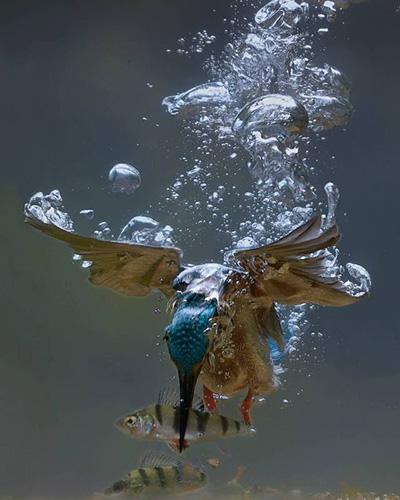 수중 사냥에 성공한 물총새