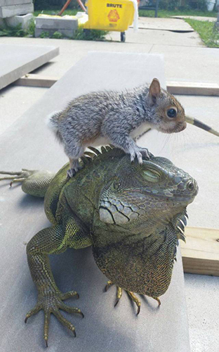 이구아나를 괴롭히는 다람쥐