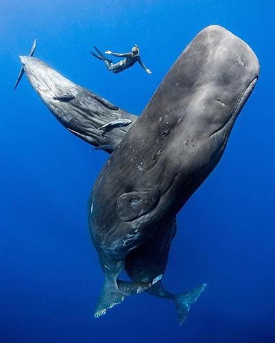 향유 고래의 실물 크기
