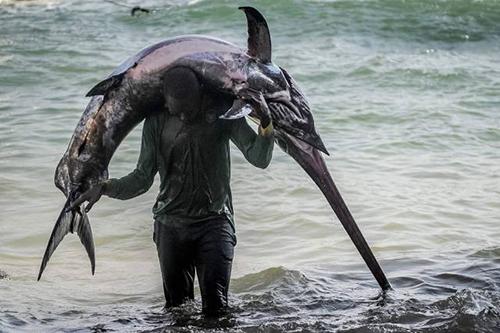 소말리아에서 잡힌 초대형 어류