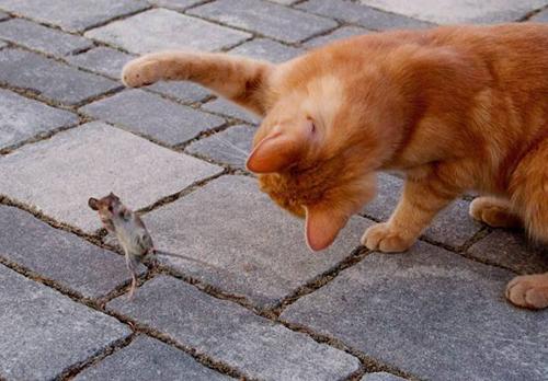 쥐를 놀라게 한 고양이의 공격
