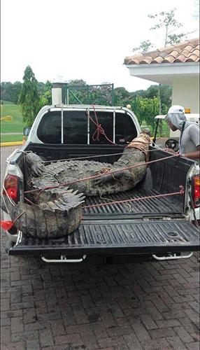 트럭을 꽉 채운 괴물 악어