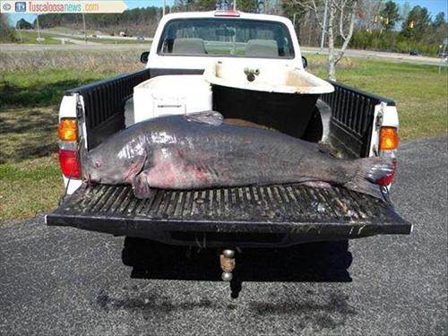 미국에서 잡힌 55kg 괴물 메기
