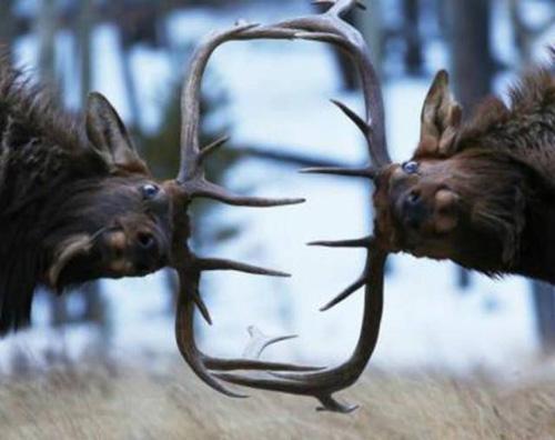 결투를 벌이는 사슴