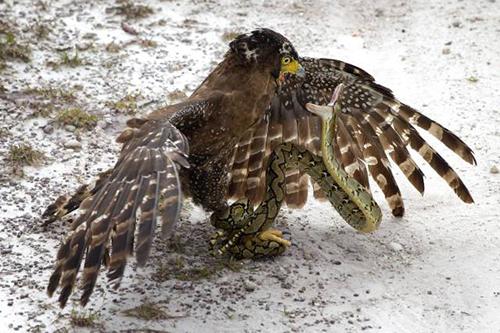 독수리와 뱀의 결투