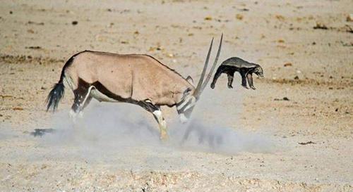 스컹크를 공격한 사슴
