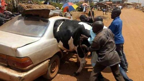 승용차에 젖소를 밀어 넣는 남성