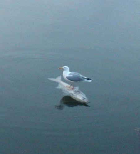 물고기 위에 올라선 갈매기