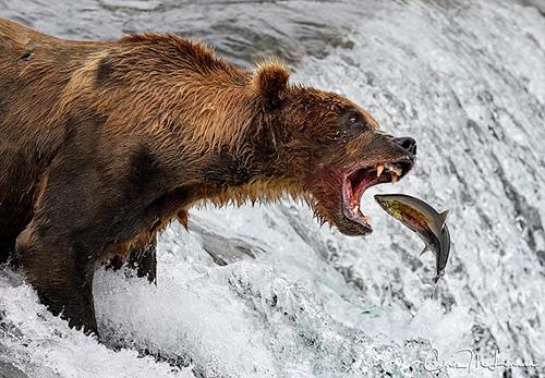 알래스카 곰의 사냥 순간 '포착'