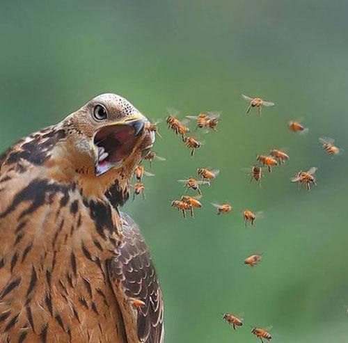 꿀벌을 집어 삼키는 독수리