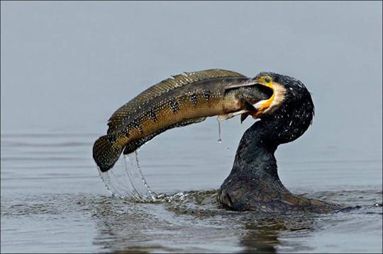 초대형 물고기를 사냥한 가마우지