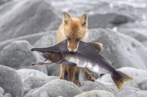 연어 사냥에 성공한 여우