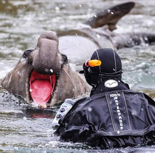 코끼리물범과 마주친 잠수부