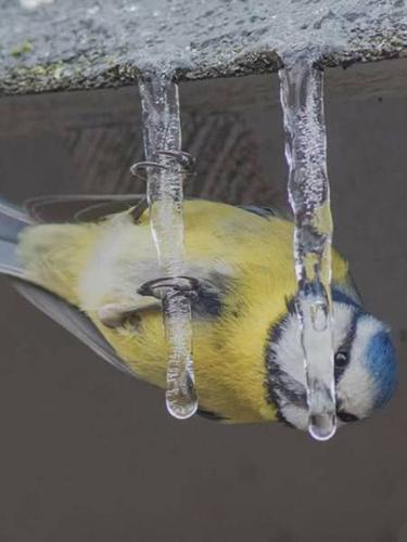 고드름을 먹는 새
