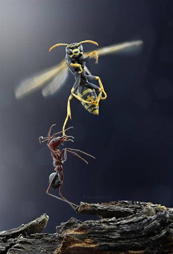 말벌을 공격하는 개미