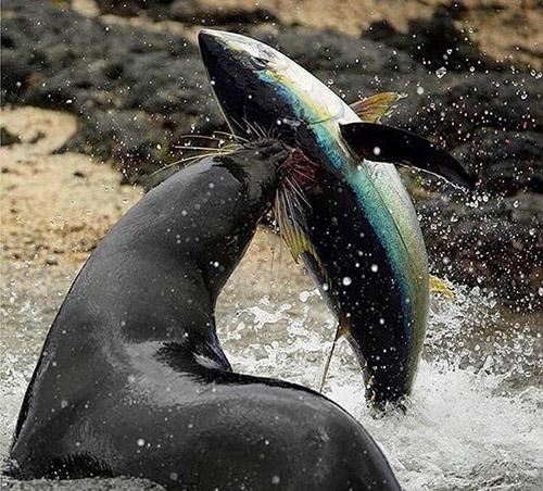 참치를 사냥한 물개