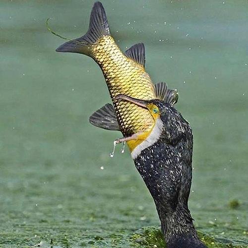물고기를 사냥한 가마우지