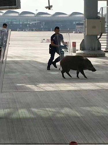 홍콩 공항에 출몰한 멧돼지