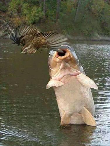 독수리를 공격하는 메기