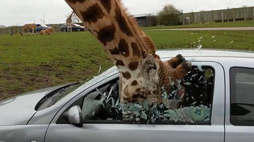 차량을 박살낸 기린