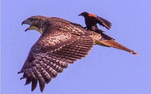 독수리에 올라탄 새 '포착'