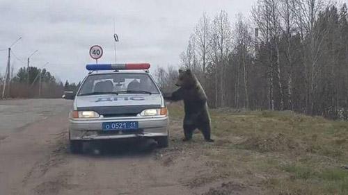 경찰차에 들이닥친 야생곰