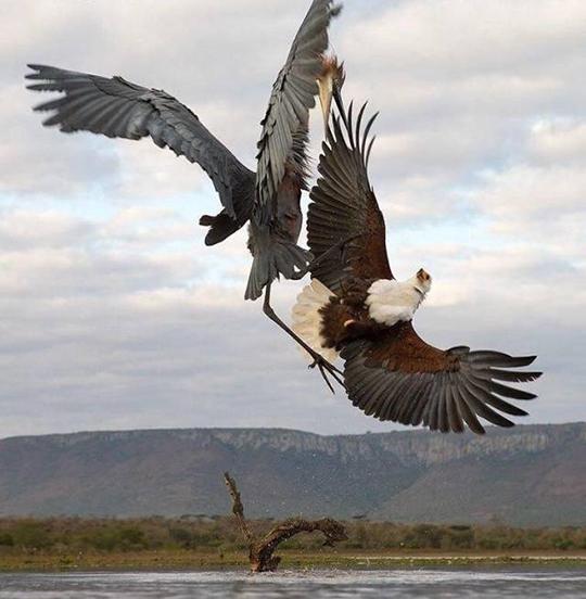 야생 독수리와 왜가리의 결투